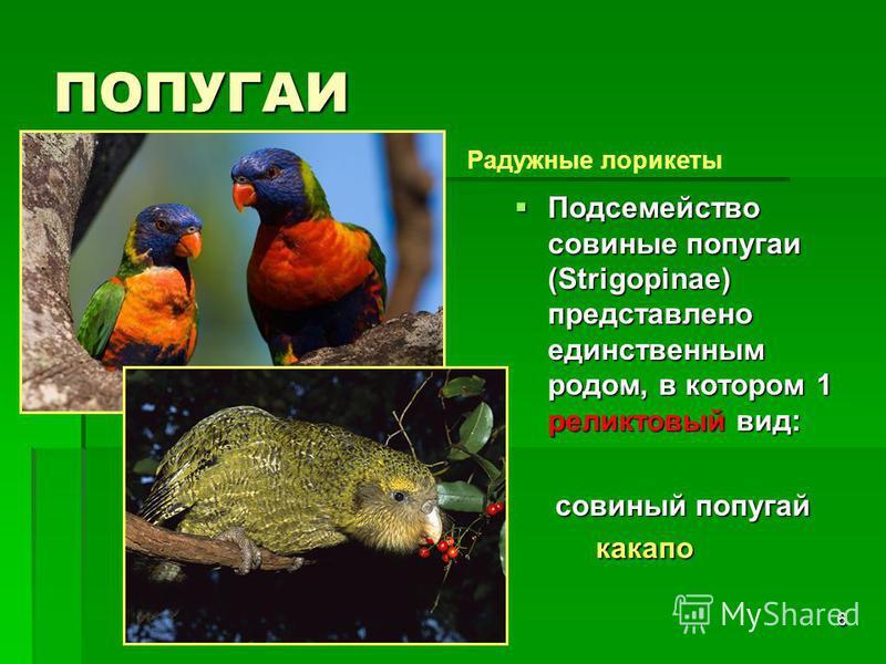 6 ПОПУГАИ Подсемейство совиные попугаи (Strigopinae) представлено единственным родом, в котором 1 реликтовый вид: Подсемейство совиные попугаи (Strigopinae) представлено единственным родом, в котором 1 реликтовый вид: совиный попугай совиный попугай