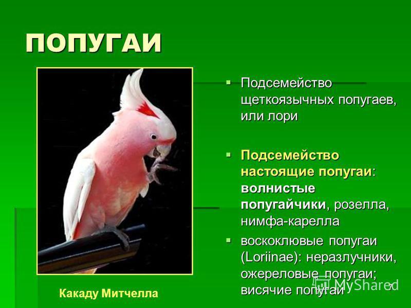 7 ПОПУГАИ Подсемейство щеткоязычных попугаев, или лори Подсемейство щеткоязычных попугаев, или лори Подсемейство настоящие попугаи: волнистые попугайчики, розелла, нимфа-карела Подсемейство настоящие попугаи: волнистые попугайчики, розелла, нимфа-кар