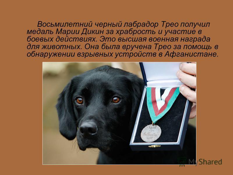 Восьмилетний черный лабрадор Трео получил медаль Марии Дикин за храбрость и участие в боевых действиях. Это высшая военная награда для животных. Она была вручена Трео за помощь в обнаружении взрывных устройств в Афганистане.