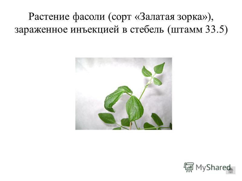 Растение фасоли (сорт «Залатая зорка»), зараженное инъекцией в стебель (штаммм 33.5)