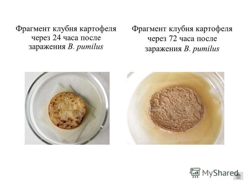 Фрагмент клубня картофеля через 24 часа после заражения B. pumilus Фрагмент клубня картофеля через 72 часа после заражения B. pumilus