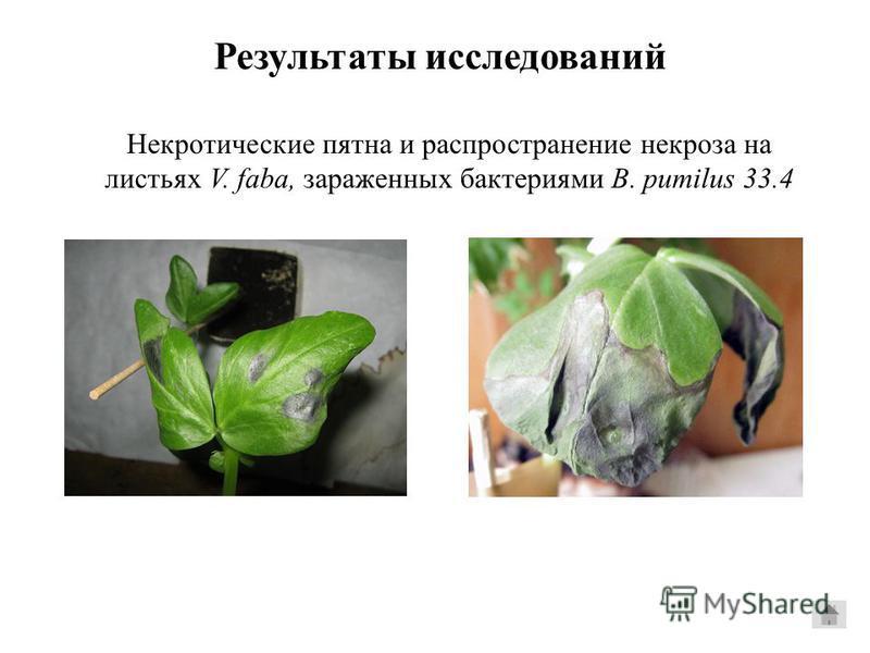 Некротические пятна и распространение некроза на листьях V. faba, зараженных бактериями B. pumilus 33.4 Результаты исследований