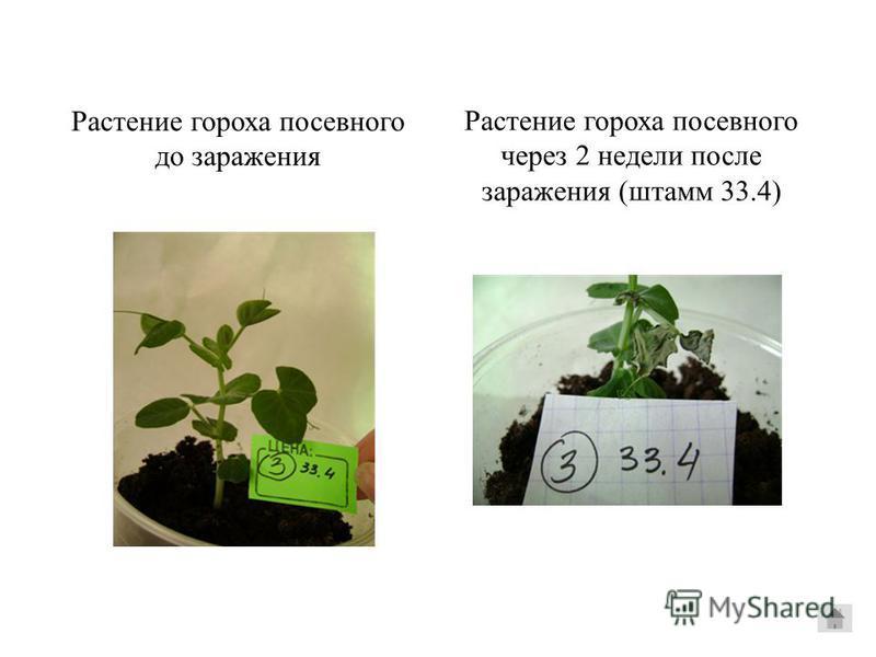 Растение гороха посевного до заражения Растение гороха посевного через 2 недели после заражения (штаммм 33.4)