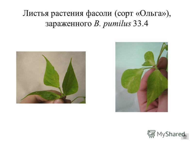 Листья растения фасоли (сорт «Ольга»), зараженного B. pumilus 33.4
