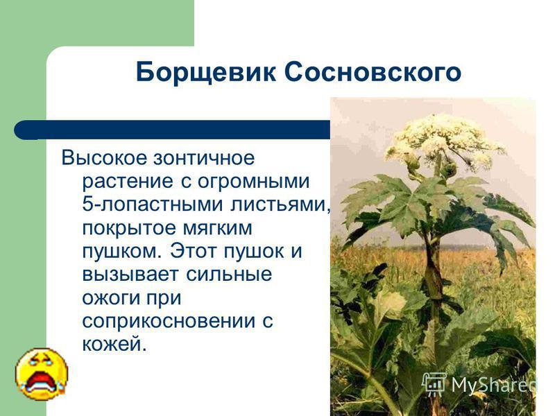 Борщевик Сосновского Высокое зонтичное растение с огромными 5-лопастными листьями, покрытое мягким пушком. Этот пушок и вызывает сильные ожоги при соприкосновении с кожей.