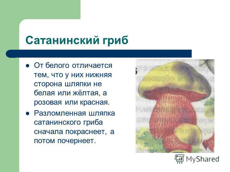 Сатанинский гриб От белого отличается тем, что у них нижняя сторона шляпки не белая или жёлтая, а розовая или красная. Разломленная шляпка сатанинского гриба сначала покраснеет, а потом почернеет.