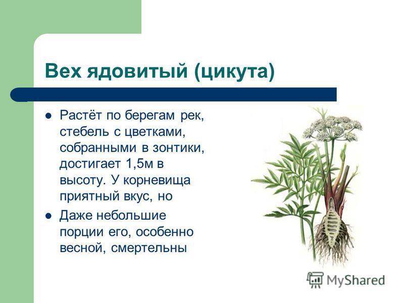 Вех ядовитый (цикута) Растёт по берегам рек, стебель с цветками, собранными в зонтики, достигает 1,5 м в высоту. У корневища приятный вкус, но Даже небольшие порции его, особенно весной, смертельны