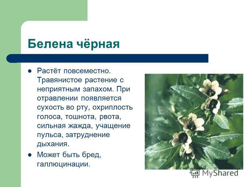 Белена чёрная Растёт повсеместно. Травянистое растение с неприятным запахом. При отравлении появляется сухость во рту, охриплость голоса, тошнота, рвота, сильная жажда, учащение пульса, затруднение дыхания. Может быть бред, галлюцинации.