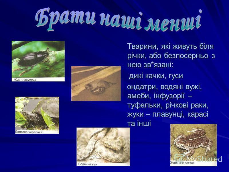 Тварини, які живуть біля річки, або безпосерньо з нею зв*язані: Тварини, які живуть біля річки, або безпосерньо з нею зв*язані: дикі качки, гуси дикі качки, гуси ондатри, водяні вужі, амеби, інфузорії – туфельки, річкові раки, жуки – плавунці, карасі