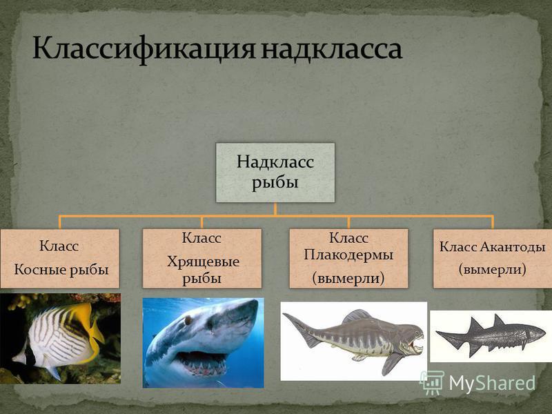 Надкласс рыбы Класс Косные рыбы Класс Хрящевые рыбы Класс Плакодермы (вымерли) Класс Акантоды (вымерли)