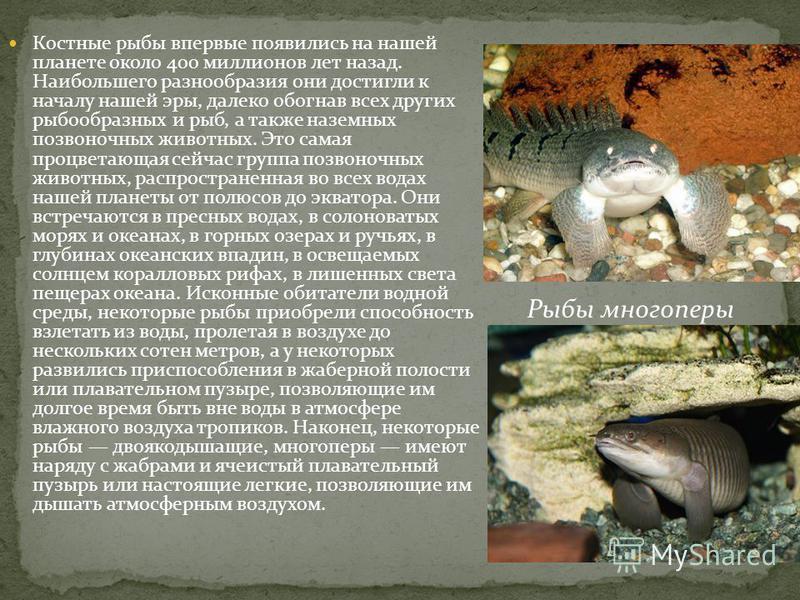 Костные рыбы впервые появились на нашей планете около 400 миллионов лет назад. Наибольшего разнообразия они достигли к началу нашей эры, далеко обогнав всех других рыбообразных и рыб, а также наземных позвоночных животных. Это самая процветающая сейч