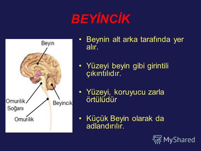 BEYİNCİK Beynin alt arka tarafında yer alır. Yüzeyi beyin gibi girintili çıkıntılıdır. Yüzeyi, koruyucu zarla örtülüdür Küçük Beyin olarak da adlandırılır.
