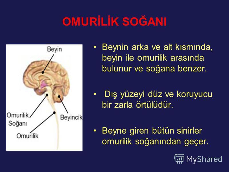 OMURİLİK SOĞANI Beynin arka ve alt kısmında, beyin ile omurilik arasında bulunur ve soğana benzer. Dış yüzeyi düz ve koruyucu bir zarla örtülüdür. Beyne giren bütün sinirler omurilik soğanından geçer.