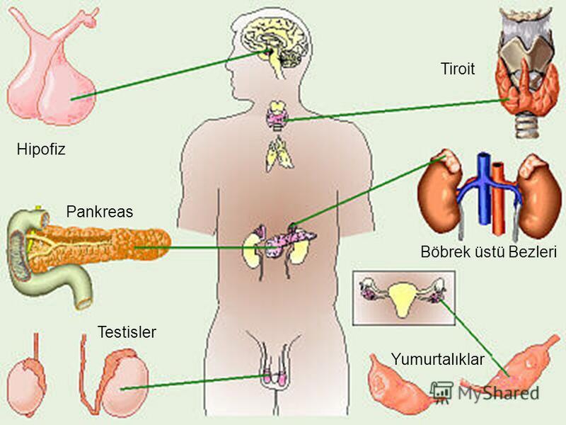 Hipofiz Tiroit Böbrek üstü Bezleri Pankreas Testisler Yumurtalıklar
