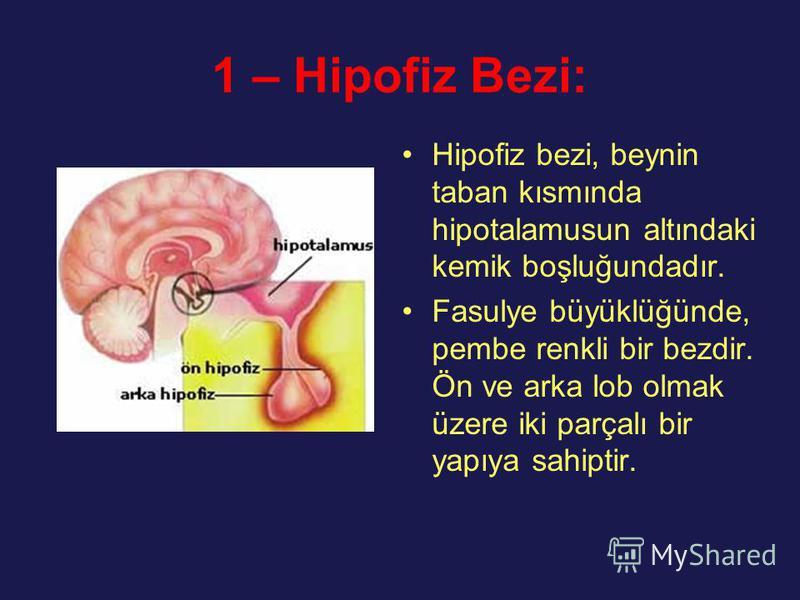 1 – Hipofiz Bezi: Hipofiz bezi, beynin taban kısmında hipotalamusun altındaki kemik boşluğundadır. Fasulye büyüklüğünde, pembe renkli bir bezdir. Ön ve arka lob olmak üzere iki parçalı bir yapıya sahiptir.