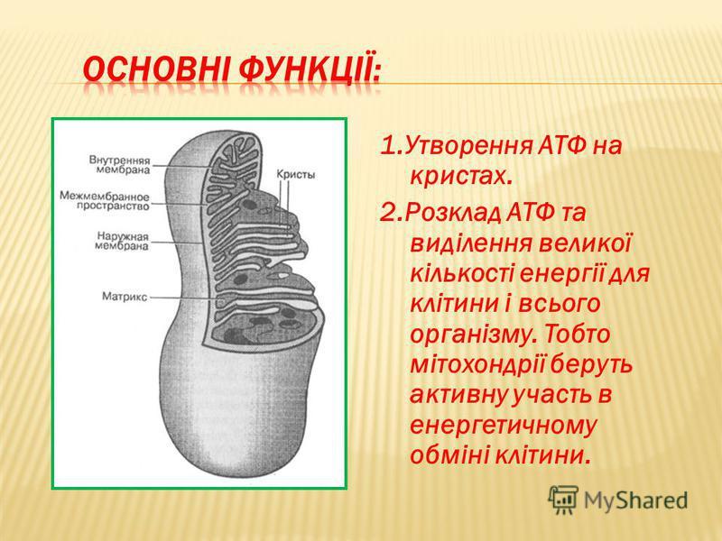 1.Утворення АТФ на кристах. 2.Розклад АТФ та виділення великої кількості енергії для клітини і всього організму. Тобто мітохондрії беруть активну участь в енергетичному обміні клітини.