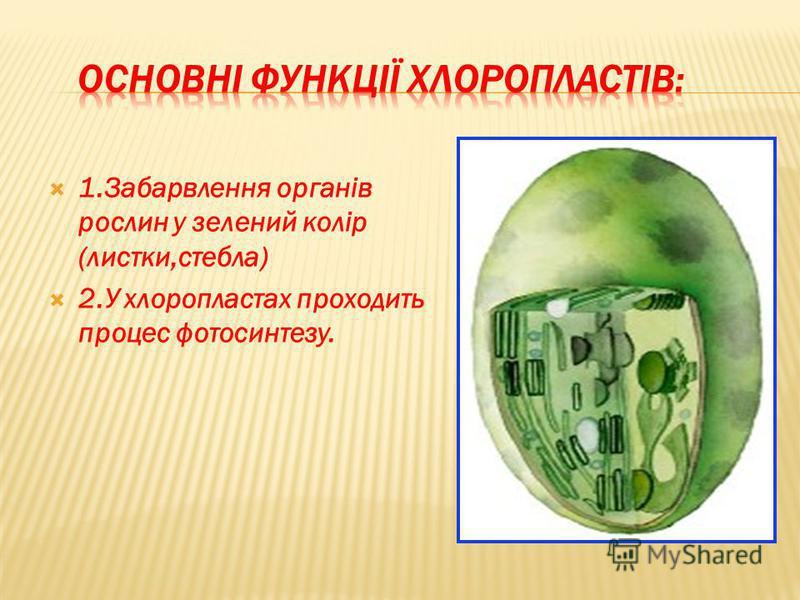1.Забарвлення органів рослин у зелений колір (листки,стебла) 2.У хлоропластах проходить процес фотосинтезу.