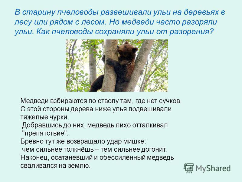 В старину пчеловоды развешивали ульи на деревьях в лесу или рядом с лесом. Но медведи часто разоряли ульи. Как пчеловоды сохраняли ульи от разорения? Медведи взбираются по стволу там, где нет сучков. С этой стороны дерева ниже улья подвешивали тяжёлы