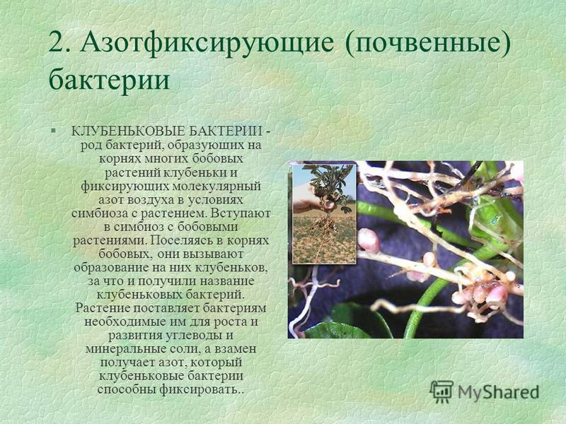 4 2. Азотфиксирующие (почвенные) бактерии §КЛУБЕНЬКОВЫЕ БАКТЕРИИ - род бактерий, образующих на корнях многих бобовых растений клубеньки и фиксирующих молекулярный азот воздуха в условиях симбиоза с растением. Вступают в симбиоз с бобовыми растениями.