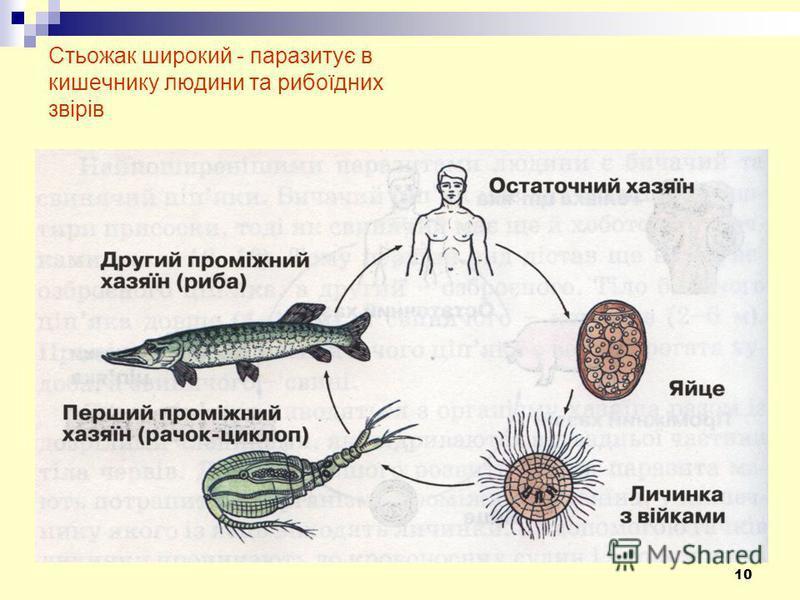 10 Стьожак широкий - паразитує в кишечнику людини та рибоїдних звірів