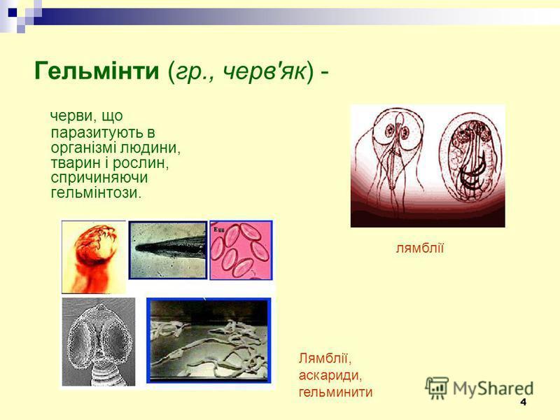 4 Гельмінти (гр., черв'як) - черви, що паразитують в організмі людини, тварин і рослин, спричиняючи гельмінтози. Лямблії, аскариди, гельминити лямблії
