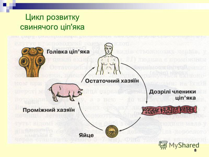 8 Цикл розвитку свинячого ціп'яка