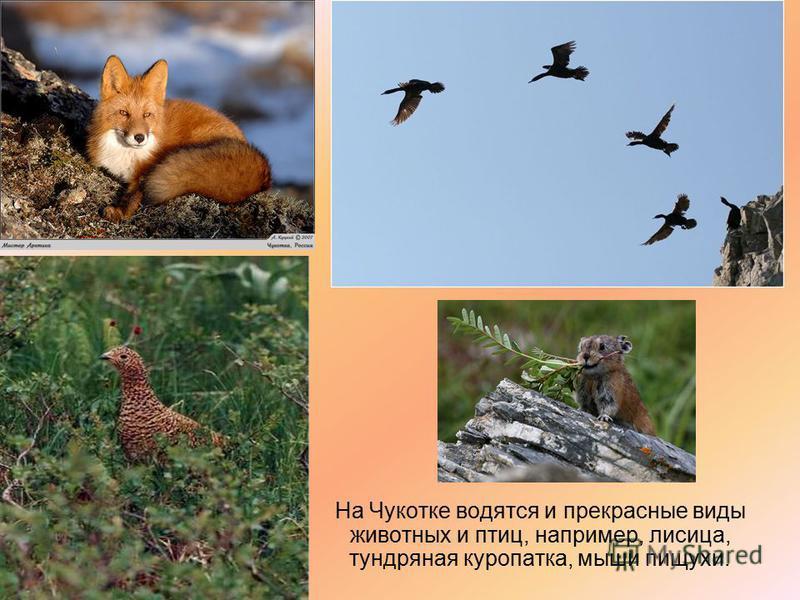 На Чукотке водятся и прекрасные виды животных и птиц, например, лисица, тундряная куропатка, мыши пищухи.