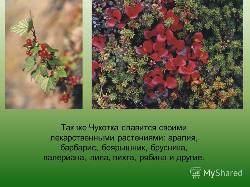 Так же Чукотка славится своими лекарственными растениями: аралия, барбарис, боярышник, брусника, валериана, липа, пихта, рябина и другие.