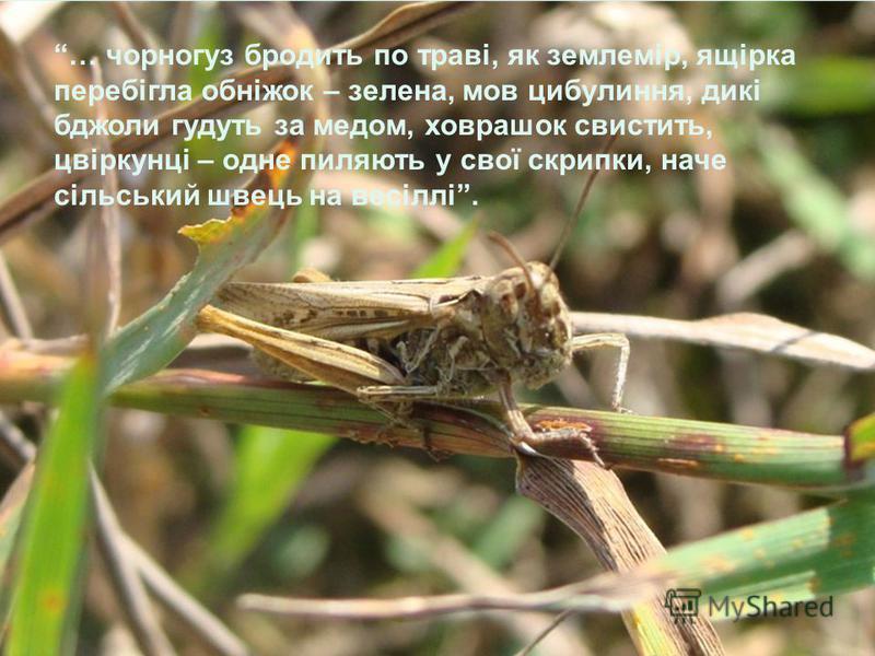 … чорногуз бродить по траві, як землемір, ящірка перебігла обніжок – зелена, мов цибулиння, дикі бджоли гудуть за медом, ховрашок свистить, цвіркунці – одне пиляють у свої скрипки, наче сільський швець на весіллі.