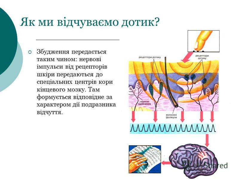 Як ми відчуваємо дотик? Збудження передається таким чином: нервові імпульси від рецепторів шкіри передаються до спеціальних центрів кори кінцевого мозку. Там формується відповідне за характером дії подразника відчуття.