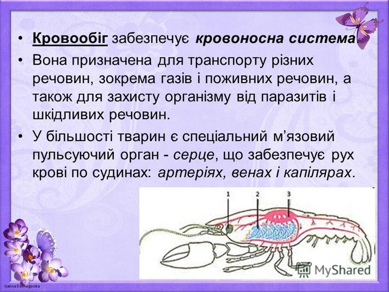 Кровообіг забезпечує кровоносна система. Вона призначена для транспорту різних речовин, зокрема газів і поживних речовин, а також для захисту організму від паразитів і шкідливих речовин. У більшості тварин є спеціальний мязовий пульсуючий орган - сер