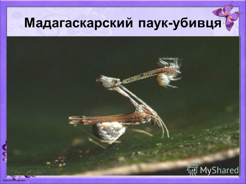 Мадагаскарский паук-убивця