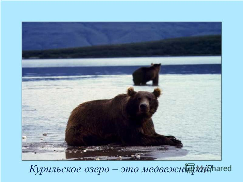 Курильское озеро – это медвежий рай!