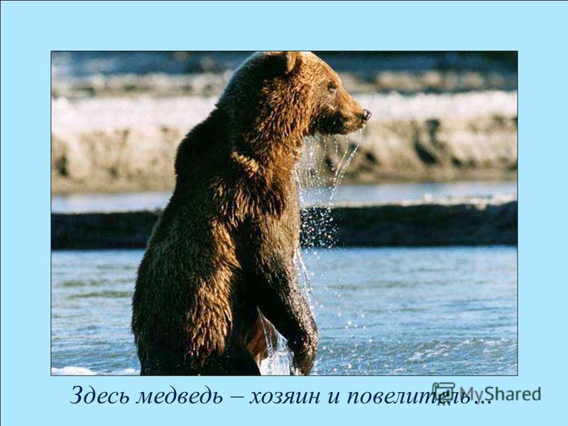 Здесь медведь – хозяин и повелитель…