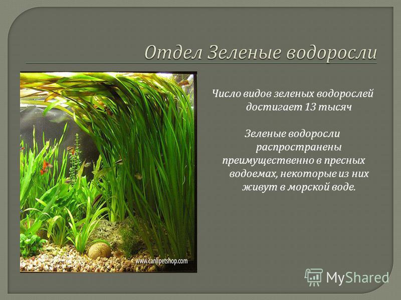 Число видов зеленых водорослей достигает 13 тысяч Зеленые водоросли распространены преимущественно в пресных водоемах, некоторые из них живут в морской воде.