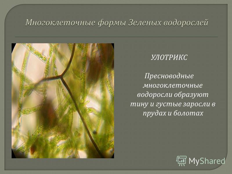 УЛОТРИКС Пресноводные многоклеточные водоросли образуют тину и густые заросли в прудах и болотах