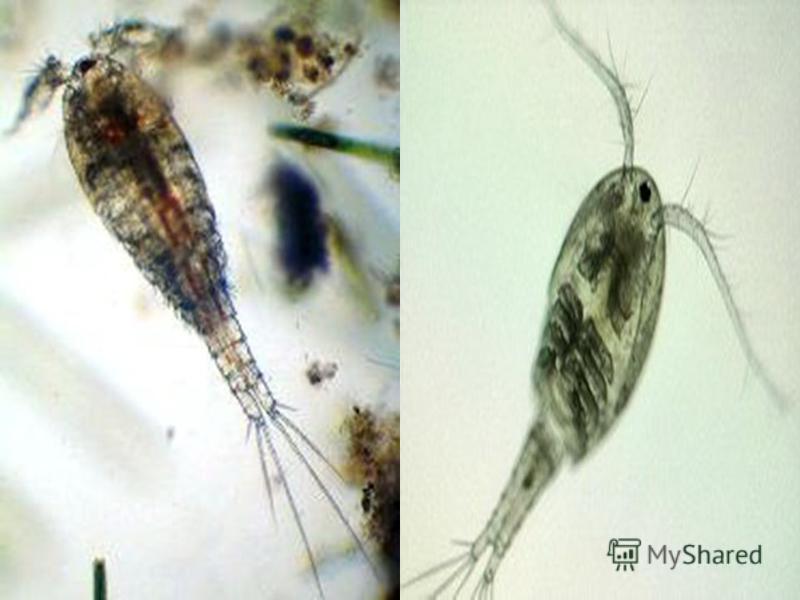 Веслоногие ракоподібні, або копепод - підклас ракоподібних класу Maxillopoda. Один з найбільших таксонів ракоподібних.