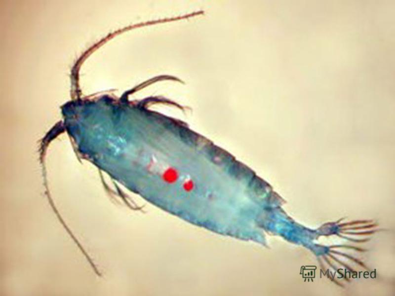 Розміри Розміри більшості видів становлять від 1 до 10 мм, є більш дрібні інтерстиціальні види і більші (до 2-3 см) глибоководні й паразитичні. Cамая велика паразитична копепод Kroyeria caseyi досягає 6,5 см. Розміри більшості видів становлять від 1