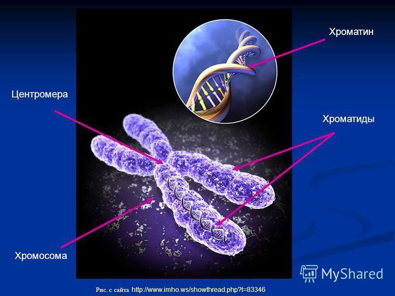 Хроматин Хромосома Центромера Хроматиды Рис. с сайта http://www.imho.ws/showthread.php?t=83346