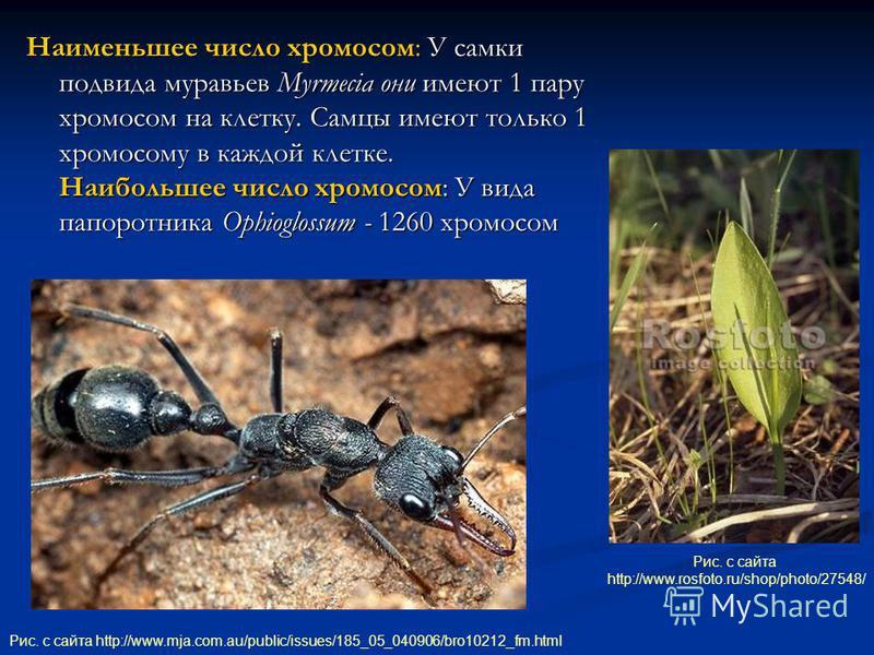 Наименьшее число хромосом: У самки подвида муравьев Myrmecia они имеют 1 пару хромосом на клетку. Самцы имеют только 1 хромосому в каждой клетке. Наибольшее число хромосом: У вида папоротника Ophioglossum - 1260 хромосом Рис. с сайта http://www.mja.c