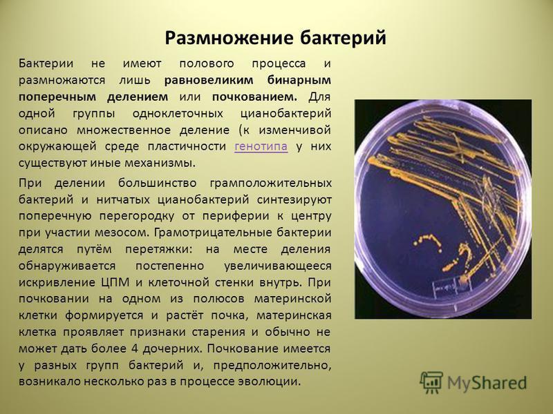 Размножение бактерий Бактерии не имеют полового процесса и размножаются лишь равновеликим бинарным поперечным делением или почкованием. Для одной группы одноклеточных цианобактерий описано множественное деление (к изменчивой окружающей среде пластичн