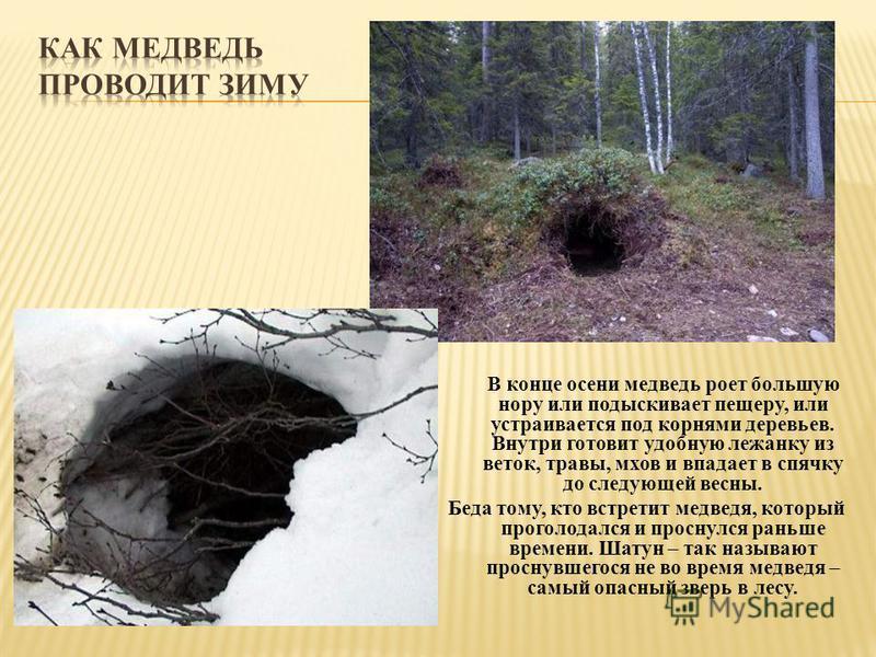 В конце осени медведь роет большую нору или подыскивает пещеру, или устраивается под корнями деревьев. Внутри готовит удобную лежанку из веток, травы, мхов и впадает в спячку до следующей весны. Беда тому, кто встретит медведя, который проголодался и