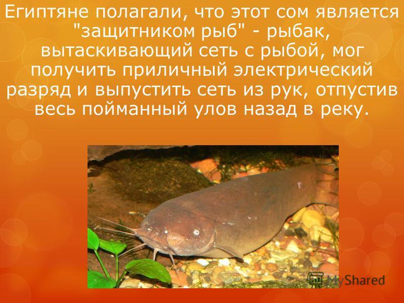 Египтяне полагали, что этот сом является защитником рыб - рыбак, вытаскивающий сеть с рыбой, мог получить приличный электрический разряд и выпустить сеть из рук, отпустив весь пойманный улов назад в реку.