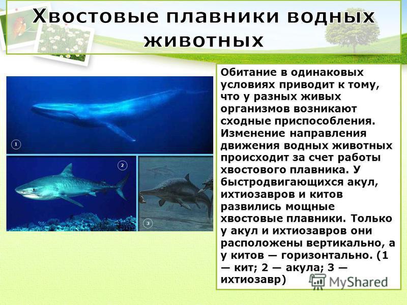Обитание в одинаковых условиях приводит к тому, что у разных живых организмов возникают сходные приспособления. Изменение направления движения водных животных происходит за счет работы хвостового плавника. У быстро двигающихся акул, ихтиозавров и кит
