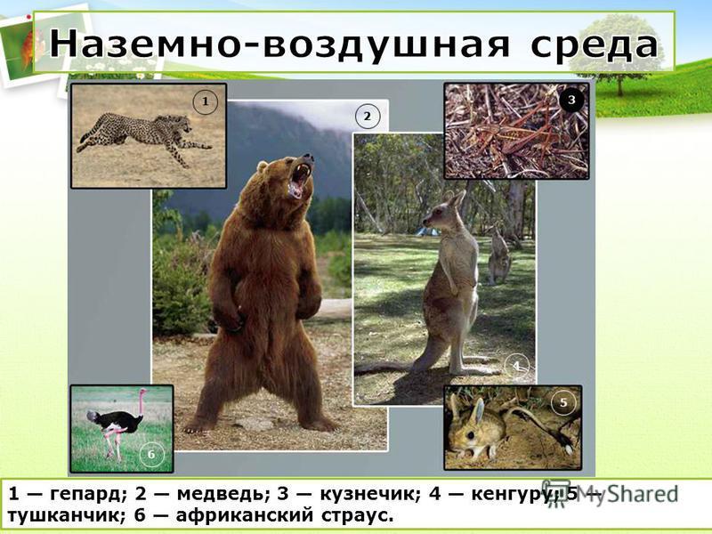 1 гепард; 2 медведь; 3 кузнечик; 4 кенгуру; 5 тушканчик; 6 африканский страус.
