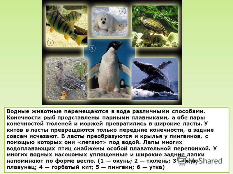 Водные животные перемещаются в воде различными способами. Конечности рыб представлены парными плавниками, а обе пары конечностей тюленей и моржей превратились в широкие ласты. У китов в ласты превращаются только передние конечности, а задние совсем и