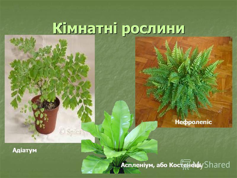 Кімнатні рослини Нефролепіс Адіатум Аспленіум, або Костенець