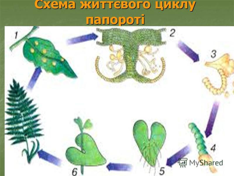 Схема життєвого циклу папороті