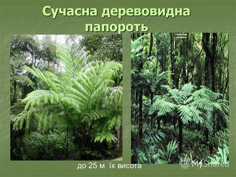 Сучасна деревовидна папороть до 25 м їх висота
