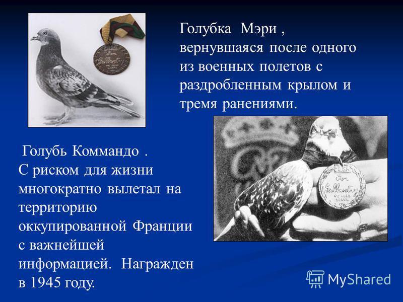 Голубка Мэри, вернувшаяся после одного из военных полетов с раздробленным крылом и тремя ранениями. Голубь Коммандо. С риском для жизни многократно вылетал на территорию оккупированной Франции с важнейшей информацией. Награжден в 1945 году.